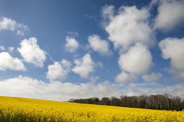1st May rapeseed field01